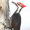 Description - Pileated Woodpecker  <b>Title - Pileated Woodpecker</b> <i>- Bob Phillips</i>