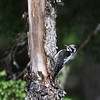 American Three-toed Woodpecker-Kispiox-BC-Canada-2699
