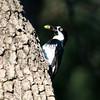 Acorn Woodpecker_Madera Cyn_AZ-2699