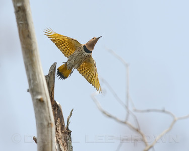 Northern (yellow-shafted) Flicker,  Dekalb Co, IL, 4-29-13. Cropped image.