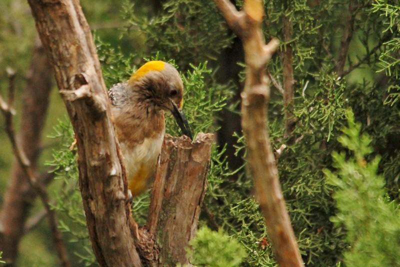 Golden-fronted Woodpecker (25)