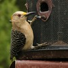 Golden-fronted Woodpecker (15)
