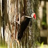 Pileated Woodwork