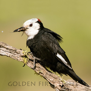 White-headed Woodpecker, central Oregon