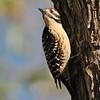 Ladder-backed Woodpecker at Covington Park, Morongo valley,CA.