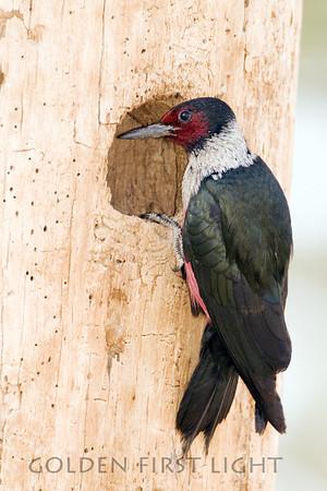 Lewis's Woodpecker, central Oregon