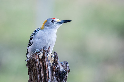 Golden-fronted Woodpecker, male (Melanerpes aurifrons)