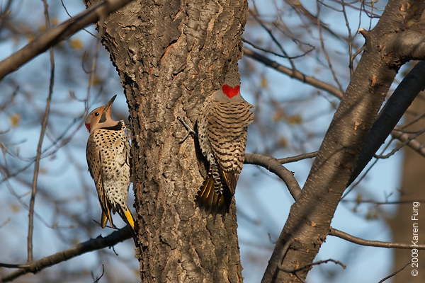 "April 12th:  Two male Northern Flickers doing the ""flicker dance"" in Central Park"
