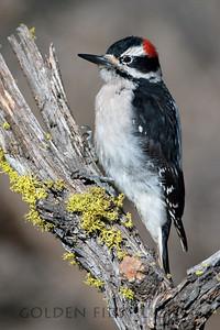 Hairy Woodpecker, central Oregon