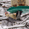 Woodpeckers : To see these and more recent Woodpeckers click here