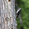 American Three-toed Woodpecker-Kispiox-BC-Canada-2441