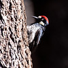 Acorn Woodpecker_Cleveland NF_CA-9494