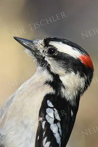#1154  Downy Woodpecker portrait, male
