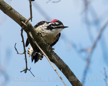 Male Nuttall's Woodpecker