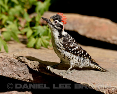 NUTTALL'S WOODPECKER, male