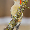 Yellow-bellied woodpecker