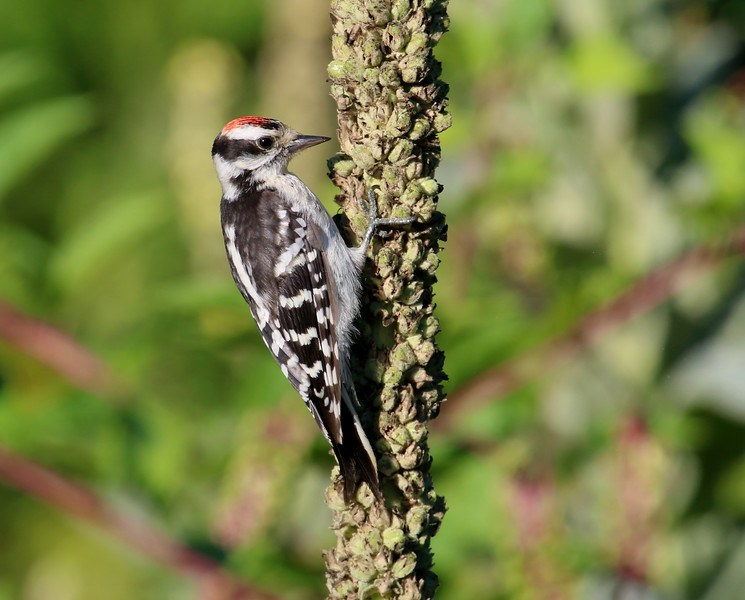 Juvenile Male Downy Woodpecker