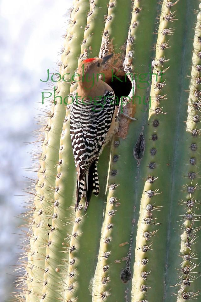 Gila Woodpecker3044