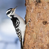 Hairy Woodpecker, Algonquin Provincial Park, Ontario