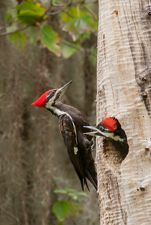 Pileated Woodpecker Adult Female and Chick