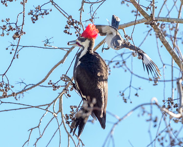 Mockingbird vs. Pileated