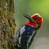 Red-breasted Sapsucker, Morton Lake Provincial Park, British Columbia