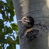 American Three-toed Woodpecker_Ormond Lk_BC_Canada-187