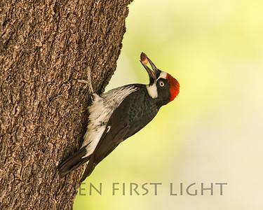 Acorn Woodpecker, Patagonia AZ