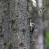 American Three-toed Woodpecker_Ft Fraser_ BC_Canada-404