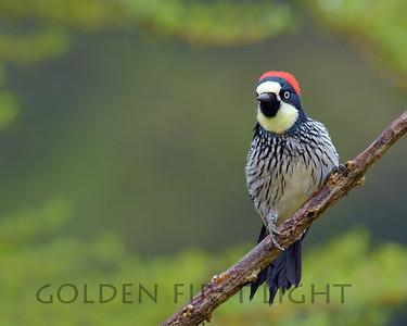 Acorn Woodpecker, Costa Rica