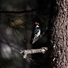 Acorn Woodpecker_Cleveland NF_CA-9469