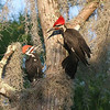 Description - Pileated Woodpecker <b>Title - Father and Son</b> <i>- Travis Hall</i>