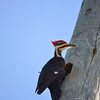 Description - Pileated Woodpecker <b>Title - Pileated Woodpecker</b> <i>- Jane Springston</i>