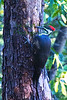 Pileated Woodpecker7495