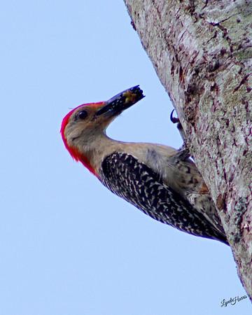 Red Bellied Woodpecker 4