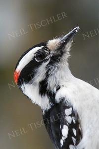 #771  A downy woodpecker portrait, male