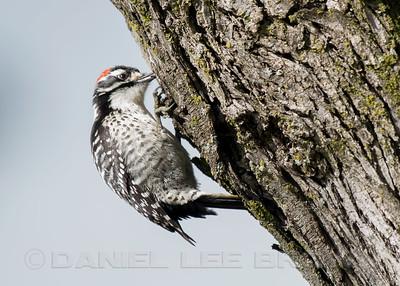 Male Nuttall's Woodpecker