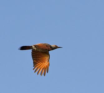 Female Northern Flicker