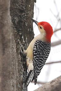 #565  Red bellied woodpecker, male