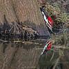 Male Pileated Woodpecker Drinking Water