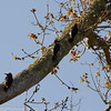 Three Acorn Woodpeckers