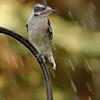 Downy Woodpecker Female