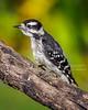Downy Wodpecker