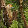 Golden-fronted Woodpecker (20)