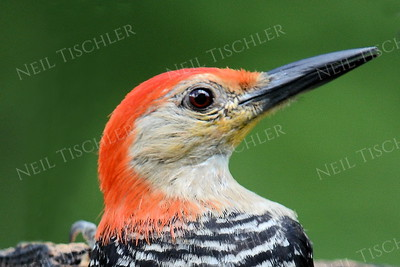#1188  Red bellied woodpecker portrait, male