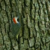 Red-bellied Woodpecker (4)