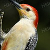 #1181  Red-bellied Woodpecker portrait, male
