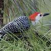 Description - Red-bellied Woodpecker <b>Title - Red-bellied Woodpecker</b> <i>- Kit Snider</i>