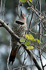 Northern Flicker 8358