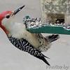 Red Bellied  Woodpecker (Male)